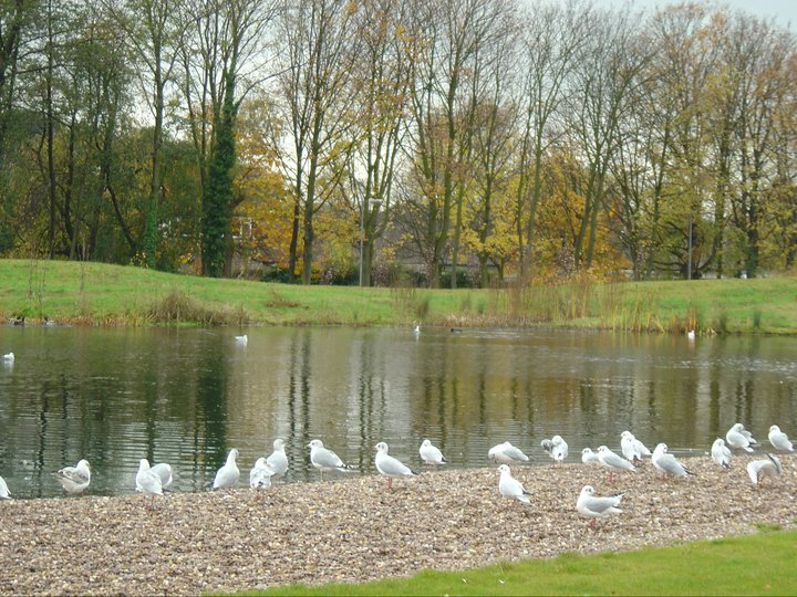 Swans in Jubilee Campus
