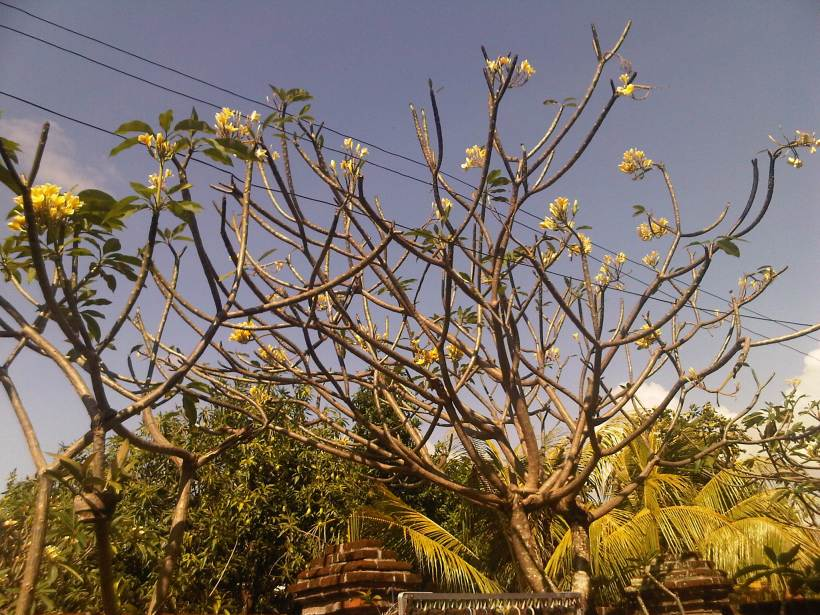 A popular flower tree in Balinese homes