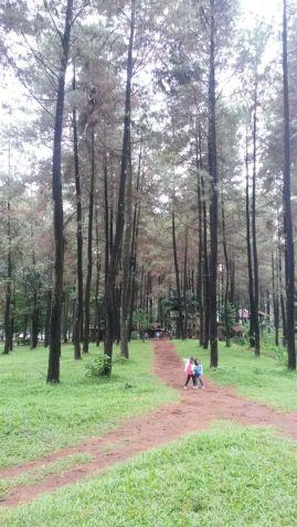 Wonderful Pine Trees