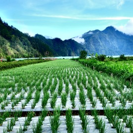 Onion fields by the lake